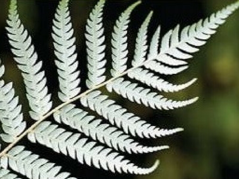 Fern Rotated